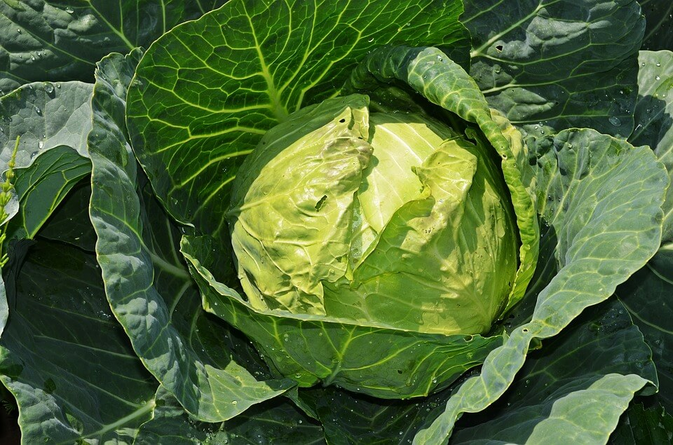 cabbage-847079_960_720